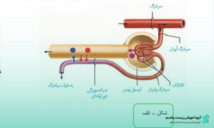 ترکیب شیمیایی ادرار و تنظیم آب